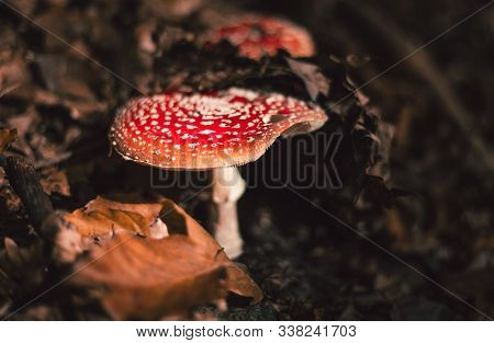 Photo Of Amanita Muscaria, Commonly Known As Fly Amanita Or  Fly Agaric In The Dark Forest Covered W