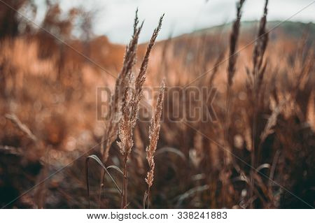 Low Angle View Of Dry Orange Grass Blades In The Forest In Fall (autumn). View Throug The Blades Of