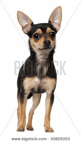 Chihuahua, 1 year old, standing against white background