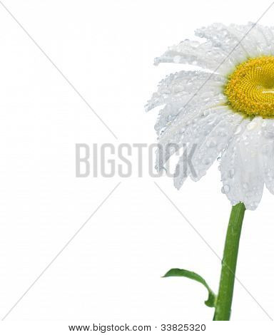 Daisy flower on white background