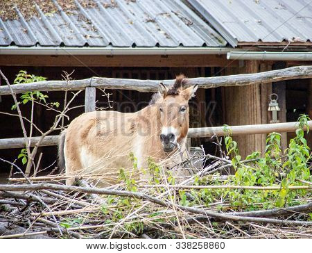 The Przewalski Horse, Latin Equus Ferus Przewalskii, Also Called Takhi, Asian Wild Horse Or Mongolia