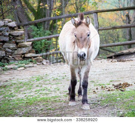 View Of A Przewalski Horse, Latin Equus Ferus Przewalskii, Also Called Takhi, Asian Wild Horse Or Mo