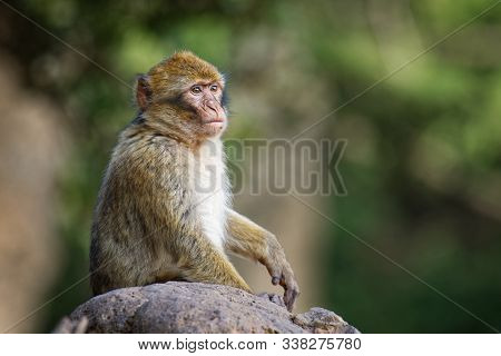 Barbary Macaque - Macaca Sylvanus Also Barbary Ape Or Magot, Found In The Atlas Mountains Of Algeria