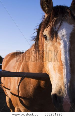 Mammalian Equidae, Half-face Photograph Of A Horse. Brown Stallion For Rodeo, American Sport. Horse