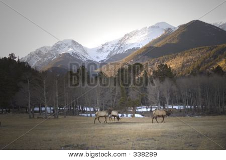 elk grazing in rocky mountain national park poster