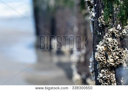 Barnacles Are Sea Creatures That Attaches Themself To A Jetty, Rock Formation Or Cement Piles In Wat