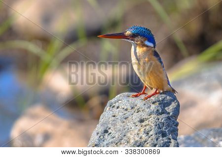 Malachite Kingfisher (alcedo Cristata) Perched On Rock On River Bank In Kruger National Park South A