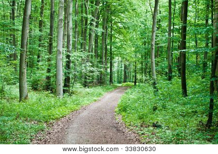 Hiking trail leading through a beech forest in spring
