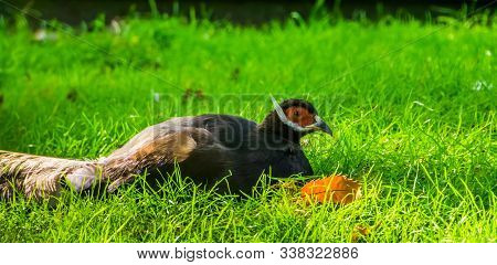 Closeup Of A Brown Eared Pheasant Sitting In The Grass, Tropical Bird From China In Asia, Vulnerable
