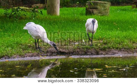 Two Black Headed Oriental White Ibises At The Water Coast, Near Threatened Bird Specie From Indonesi