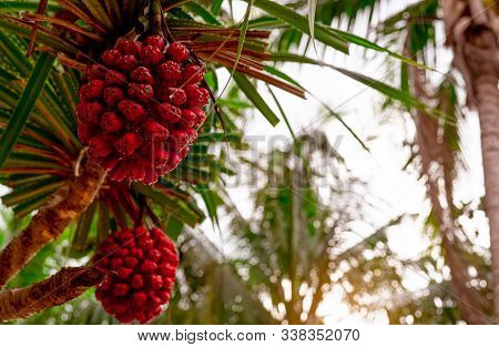 Pandanus Tectorius Tree With Ripe Hala Fruit On Blur Background Of Coconut Tree At Tropical Beach Wi