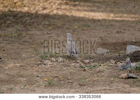 Beautiful Dove On The Ground, Dove Walking On Ground.dove On The Earth, Dove On Landscape