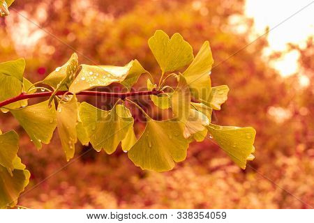 Autumn Leaves Of Ginkgo Biloba, A Fresh Natural Branch With Beautiful Carved Leaves Of The Ginkgo Tr