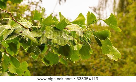 A Branch With Beautiful Carved Green Fresh Natural Leaves Of Ginkgo Biloba With Raindrops. Chinese M