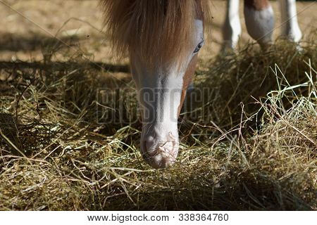 Closeup Portrait Of Beautiful Young Horse Eating Hay At The Farm/ Animal Nature Landscape