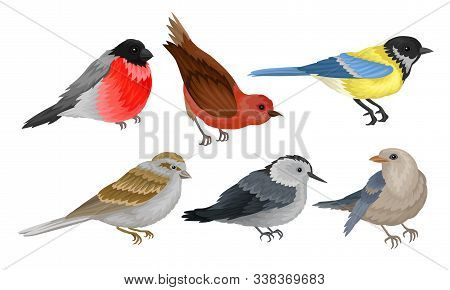 Wild Birds Collection, Titmouse, Bullfinch, Sparrow Vector Illustration