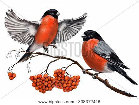 Birds Bullfinches On A Branch Of Ashberry, Art Illustration Painted With Watercolors Isolated On Whi