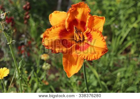 Luxury Flower Daylily In The Garden, Close-up.daylily Is A Flowering Plant In The Genus Hemerocallis