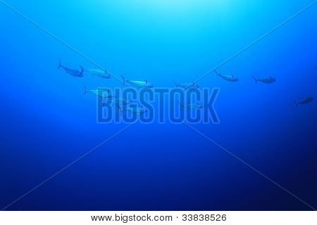 Underwater Image of Shoal of Tuna Fish in the Ocean