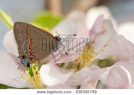 Tiny Red-banded Hairstreak butterfly on an apple blossom in early spring