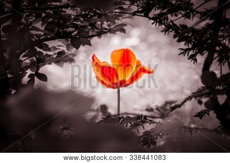Red Tulip Soul In Black White For Peace Heal Hope. The Flower Is Symbol For Power Of Life And Mind S