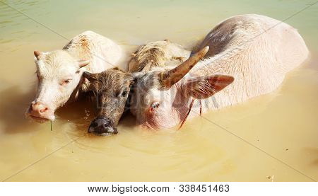 Closeup With Three Water Buffalo Which Two Of Them Are Albino.albino Buffalo Is Rarely Can Be Seen I