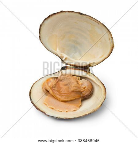 Single fresh cooked spisula solida or surf clam isolated on white background