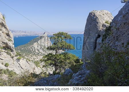 High Relict Tree Juniper (juniperus Excelsa) In Coastal Cliffs. Novyy Svet, Crimea. Sunny Day In Sep
