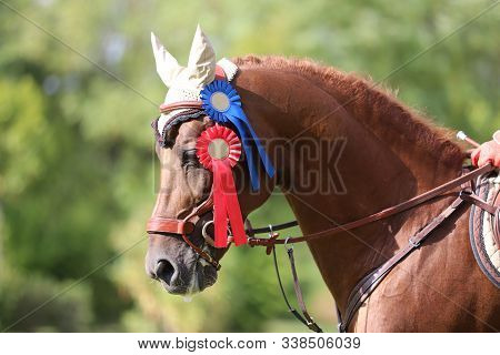 Colorful Ribbons Rosette On Head Of A Beautiful Award Winner Young Racehorse On Equitation Event. Pr