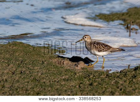Pectoral Sandpiper Foraging For Food On A Shoreline