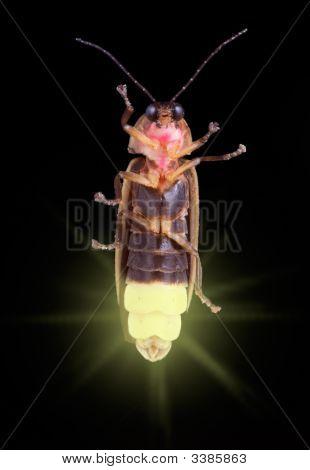 Glowing Firefly