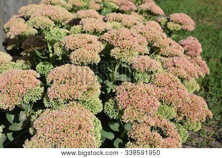 Sedum Prominent (sedum Spectabile) For  Bee-friendly Garden In Autumn. Sedum (stonecrop) In Blossom