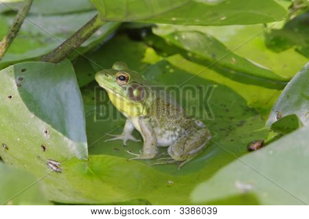 Green Frog (Rana clamitans) on a lily pad poster