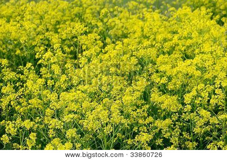 Barbarea Vulgaris flores