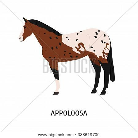 Appalloosa Breed Horse Flat Vector Illustration. American Equine With Forelock, Pedigree Hoss. Eques