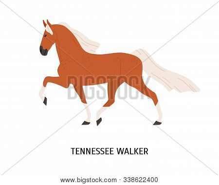 Tennessee Walking Horse Flat Vector Illustration. American Equine, Walker Breed Steed, Pedigree Hoss