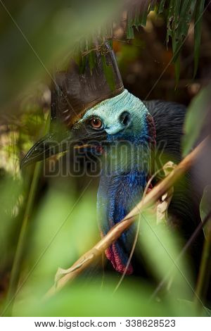 Close Up On Colourful Cassowary Bird Face, Crane And Long Eyelashes North Qld