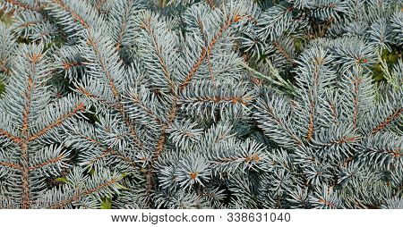 Blue Spruce Branch. Beautiful Branch Of Spruce With Needles. Christmas Tree In Nature. Green Spruce.