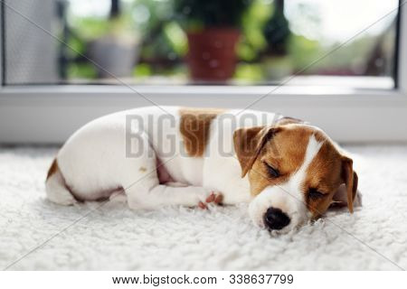 Jack russel terrier puppy sleeping on white carped on the floor. Small perky dog. Animal pets concept