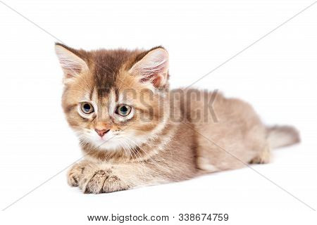 Front View Of Small Brown And White Shorthair Kitten With Big Eyes. Isolated Close Up Of Fluffy Baby