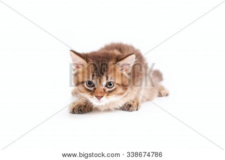Front View Of Small Cute Brown And White Shorthair Kitten In Hunting Pose. Isolated Close Up Of Fluf