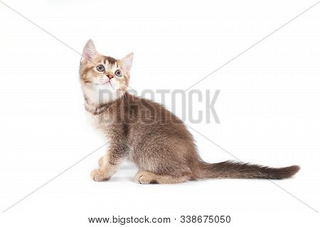 Side View Of Small Cute Brown Shorthair Tabby Kitten With Lovable Long Tail. Fluffy Baby Cat With Ad