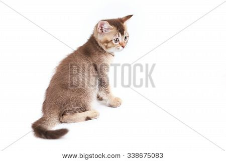 Back View Of Small Cute Brown Shorthair Tabby Kitten With Lovable Long Tail. Fluffy Baby Cat With Ad