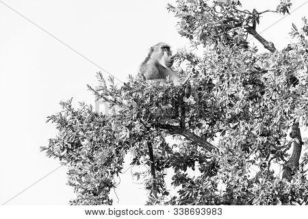 A Chacma Baboon, Papio Ursinus, Sitting In A Tree. Monochrome