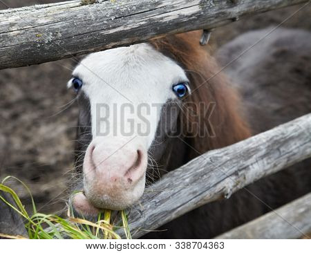 Cute little foal pony with blue eyes eating a grass