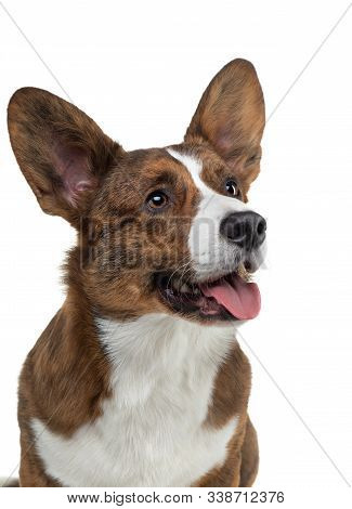 Portrait Of A Dog On A White Background. Smiling Corgi Brindle Color. Pet In The Studio. For Design