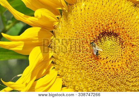 Sunflower Flower Close-up With An Insect Wasp Bright Yellow Flower Garden Sunflower Pollination By A