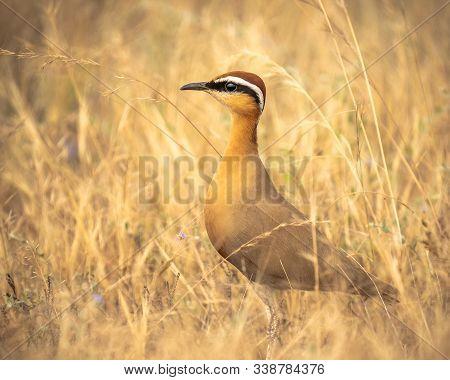 Indian Courser, Cursorius Coromandelicus A Ground Bird Resting On Ground
