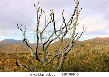 Dry Branches From A Parched Tree On An Arid Plain Taken In The Lower Elevations Of The Rural San Ber