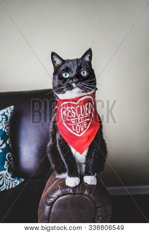 Adopted rescue black and White tuxedo cat wearing a bandana with